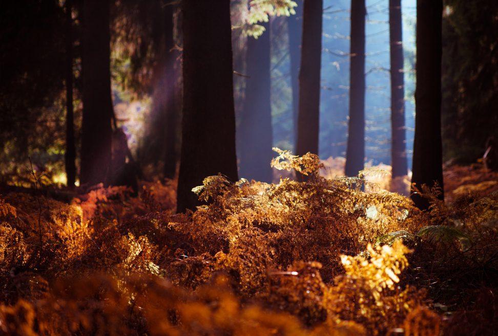 Wandbild Alu Dibond: Herbstwald goldenes Farn und Nebel.